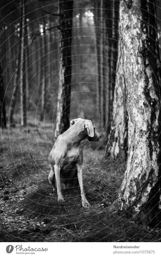 Sinne Jagd Natur Baum Wald Tier Haustier Hund 1 sitzen dunkel Tierliebe achtsam Wachsamkeit Einsamkeit Erwartung geheimnisvoll Neugier Jagdhund Vorsteherhund