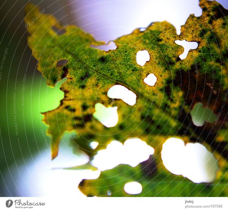 Lochfraß Blatt Herbst Unschärfe Gefäße mehrfarbig gelb grün faulig welk Durchblick Blick Jahreszeiten finden zerfressen Pflanze Licht Natur luftig
