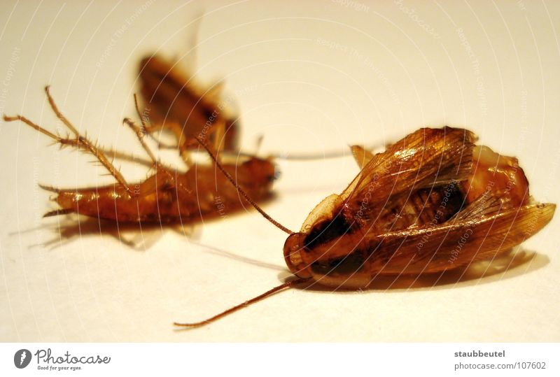 la cucaracha Gemeine Küchenschabe Spanien Insekt Zerstörung Haushalt Vergänglichkeit cockroach Tod Käfer vergasung Sauberkeit insektizid