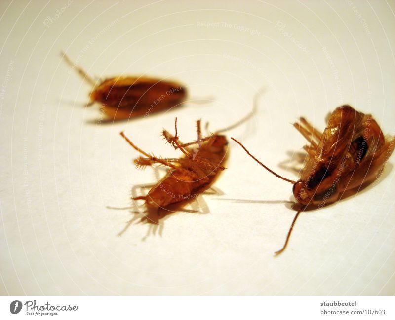 la cucaracha 2 Tod Angst Sauberkeit Insekt Schaben Spanien Panik Zerstörung Käfer Haushalt Gemeine Küchenschabe