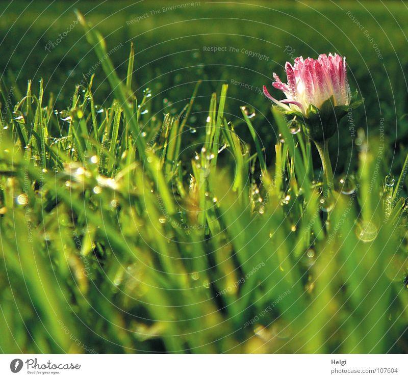 Morgenstund.... weiß grün rot Blume gelb dunkel Wiese Herbst Gras Lampe hell glänzend rosa nass Wassertropfen stehen