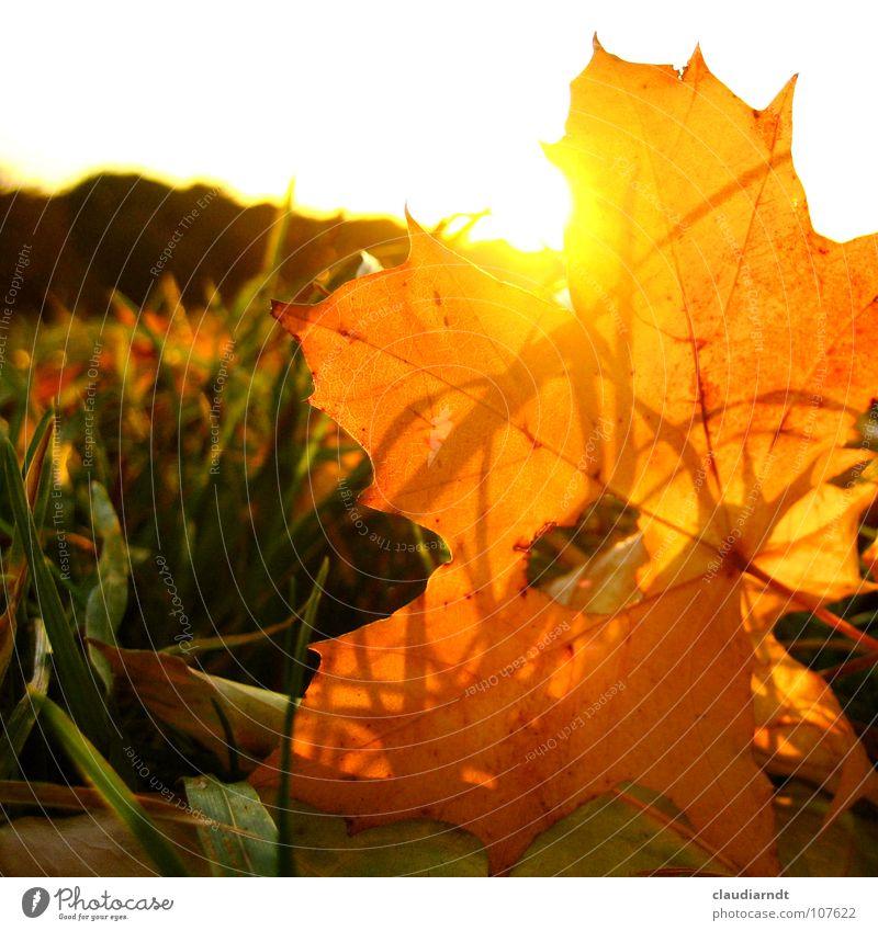 Herbstfeuer Natur Sonne Blatt Wiese Wärme Herbst Lampe Beleuchtung orange gold niedlich Rasen Physik Loch Herbstlaub blenden