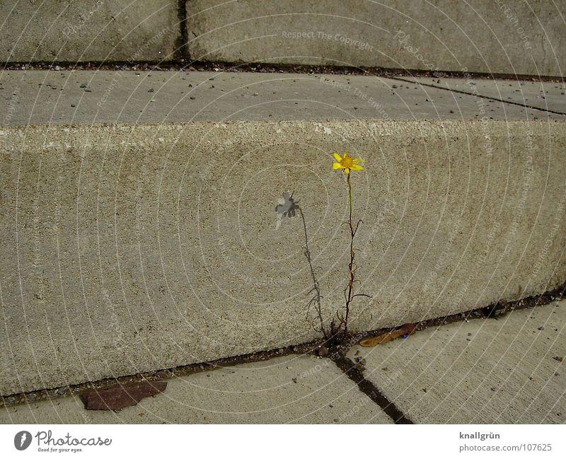 Urkraft Natur Pflanze Sommer gelb Blüte grau Stein Beton Treppe Stengel Furche Fuge Mittagssonne