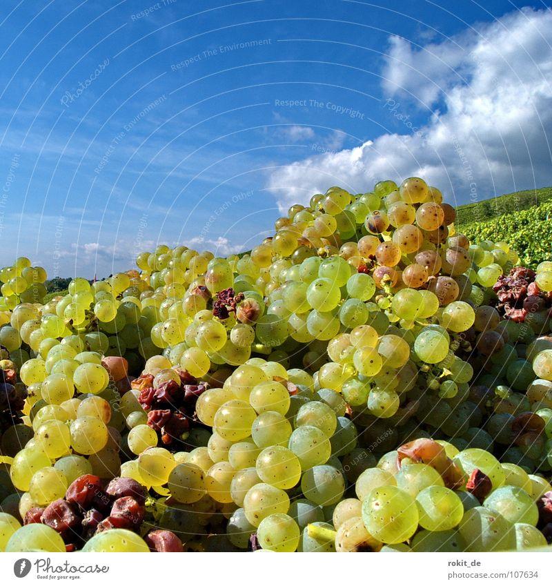 Das wird ein guter Tropfen Weinlese Weinberg Weintrauben Berghang Eltville Rheingau Alkoholisiert Wolken gelb grün Herbst Ernte herb fruchtig Straußwirtschaft