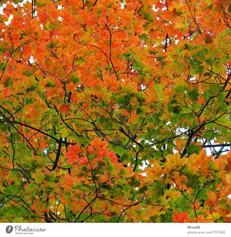 Der Wandel Ahorn Herbst Wald Natur Spaziergang Klotzsche