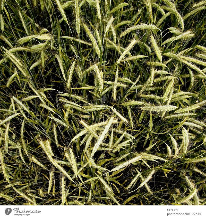 Feld Natur Gesunde Ernährung Gras natürlich Lebensmittel Feld Landwirtschaft Getreide Stengel Korn ökologisch Wirtschaft Halm reif Samen Kornfeld