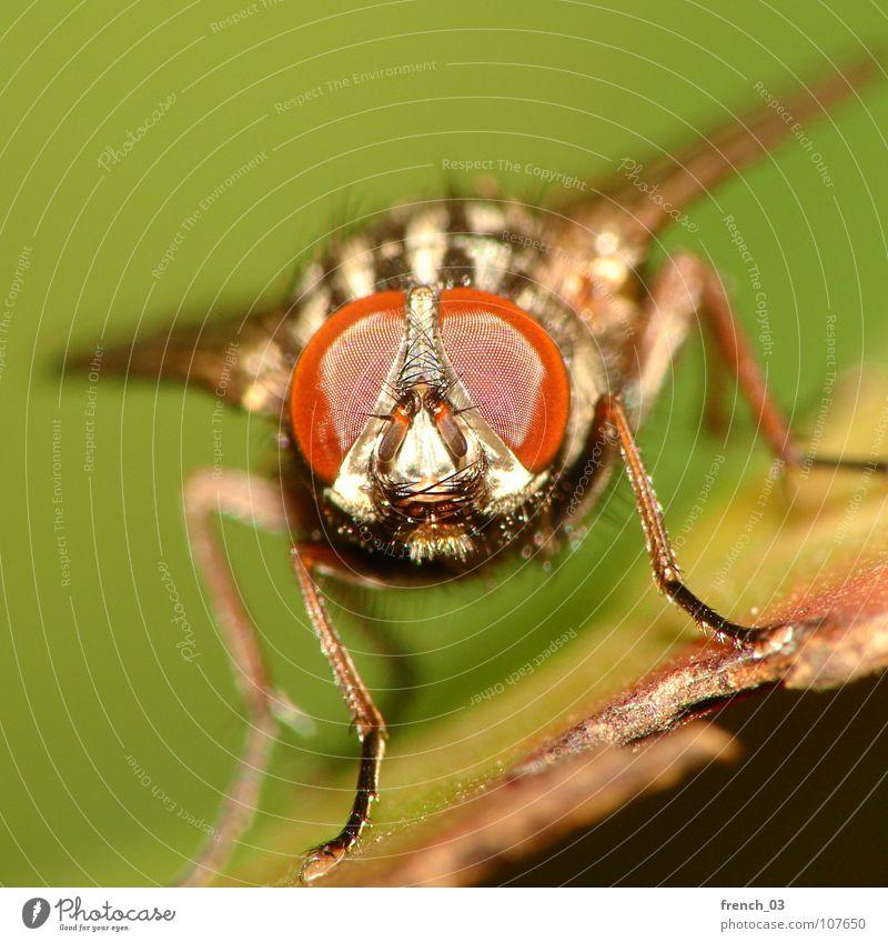 Makro-Fliege 3 Natur Tier Flügel 1 Blick Ekel grün rot schwarz faszinierend Insekt leicht Schweben Facettenauge Beine hypnotisch Fleischfliege frontal