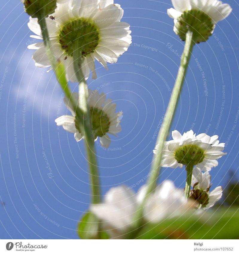 hoch hinaus... Blume Blüte Sommerblumen Blütenblatt Stengel Froschperspektive emporragend Unschärfe Wolken weiß grün gelb Wegrand schön Margarite aufwärts