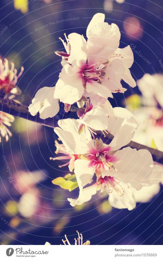 blanc & rose Umwelt Natur Pflanze Frühling Sommer Blüte exotisch Garten Park schön Blütenpflanze Blütenblatt Blühend rosa weiß cremegelb Lichtpunkt diagonal