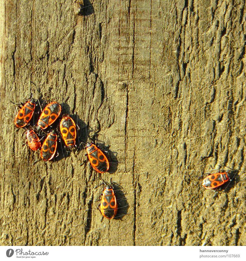 Spalter Feuerwanze Insekt Laus Baum Baumrinde Ausgrenzung transpirieren Trauer Holz Verzweiflung einzelgänger Einsamkeit klüngeln spalter spalterei mehrere