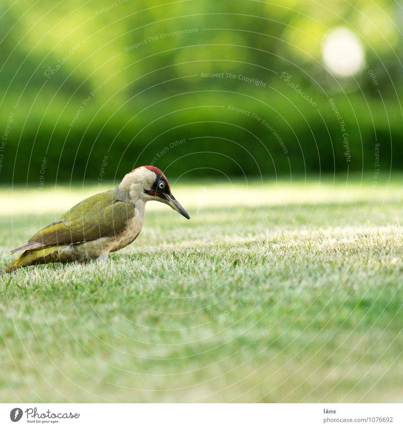 ich sehe dich Natur Gras Garten Wiese Tier Vogel 1 beobachten warten listig Neugier Optimismus Specht Rasen lau Grünspecht Farbfoto Außenaufnahme Menschenleer
