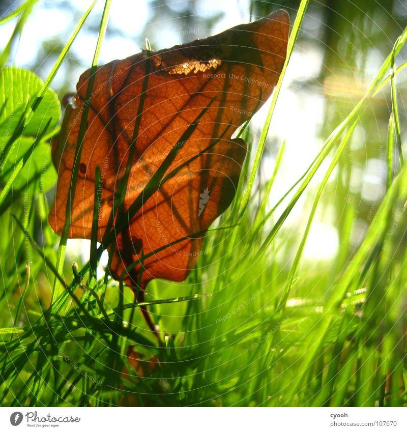 der Herbst ist schön! Sonnenlicht Sonnenstrahlen Eiche Blatt grün Gras braun grasgrün Wiese nah Froschperspektive Licht Lichtfleck ruhig Suche finden entdecken