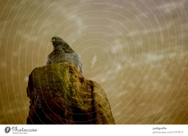 Taube Farbe Tier Mauer Stein Vogel sitzen Feder beobachten Burg oder Schloss Federvieh