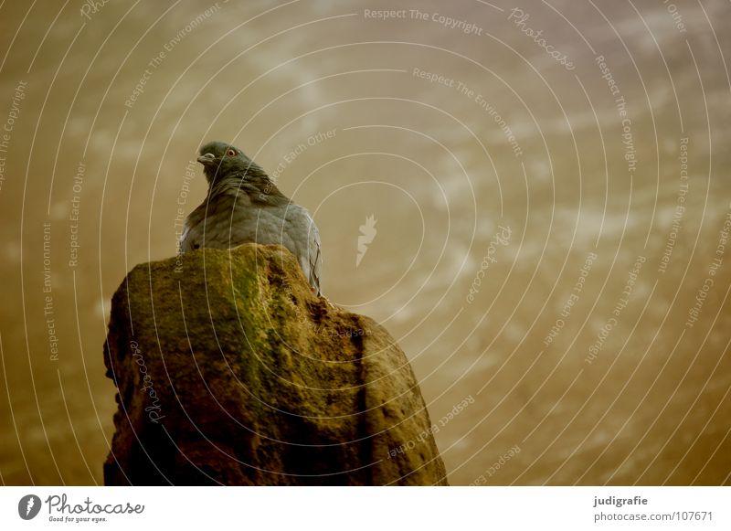 Taube Vogel Tier Federvieh beobachten Mauer Farbe Blick sitzen Stein geieder burgtaube Burg oder Schloss
