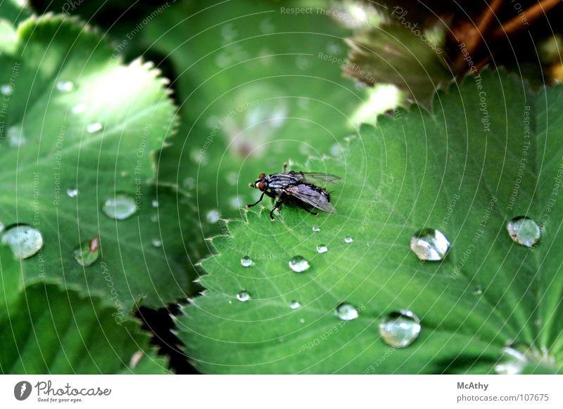 Fliege und Regen Natur grün Blatt Wassertropfen Insekt