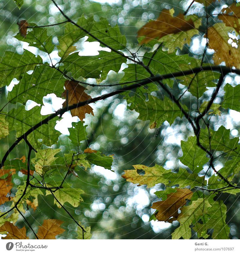 change of colour Herbst Jahreszeiten Blatt mehrfarbig grün braun Baum Einblick Durchblick zart Loch Blick durchsichtig Stimmung Lichtpunkt gelb Vergänglichkeit