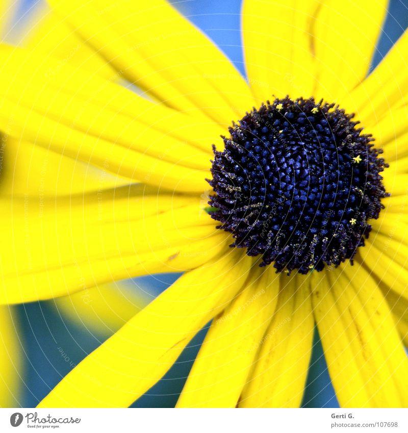 blackeye Natur Blume blau Pflanze Sommer gelb Farbe Blüte verrückt Tiefenschärfe grell Gruß Valentinstag Blütenblatt knallig