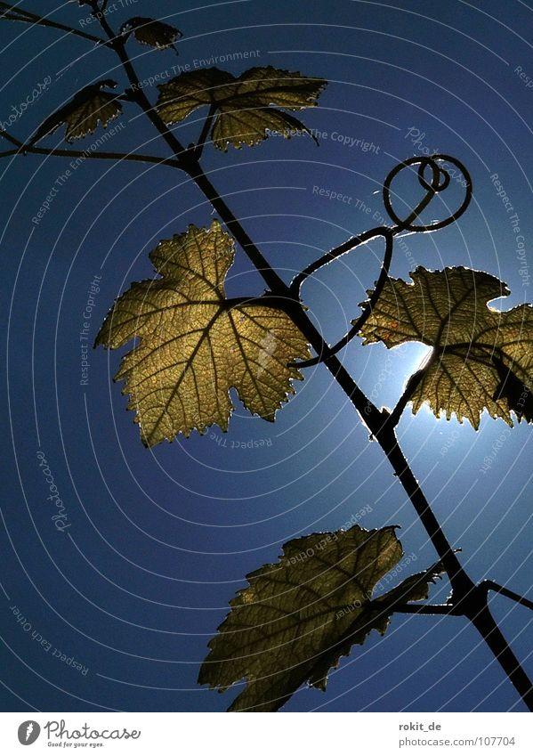 Verschlungen Weinberg Strahlung Rheingau Eltville Blatt Weinblatt Gegenlicht blau grün festhalten durcheinander Ranke Weinbau Weinlese Pflanze Winzer Alkohol