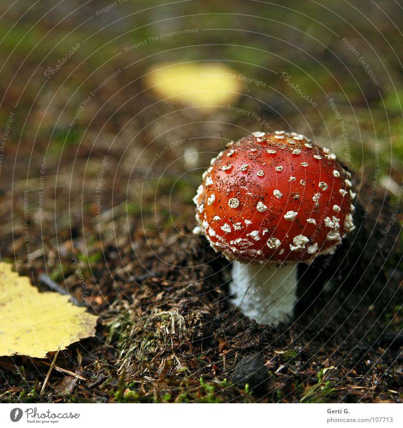 Glyxpilz Fliegenpilz Waldboden Herbst Gift Flocke Rauschmittel Symbole & Metaphern Wachstum braun Blatt gelb gefährlich amanita muscaria Pilz giftpilz muskarin