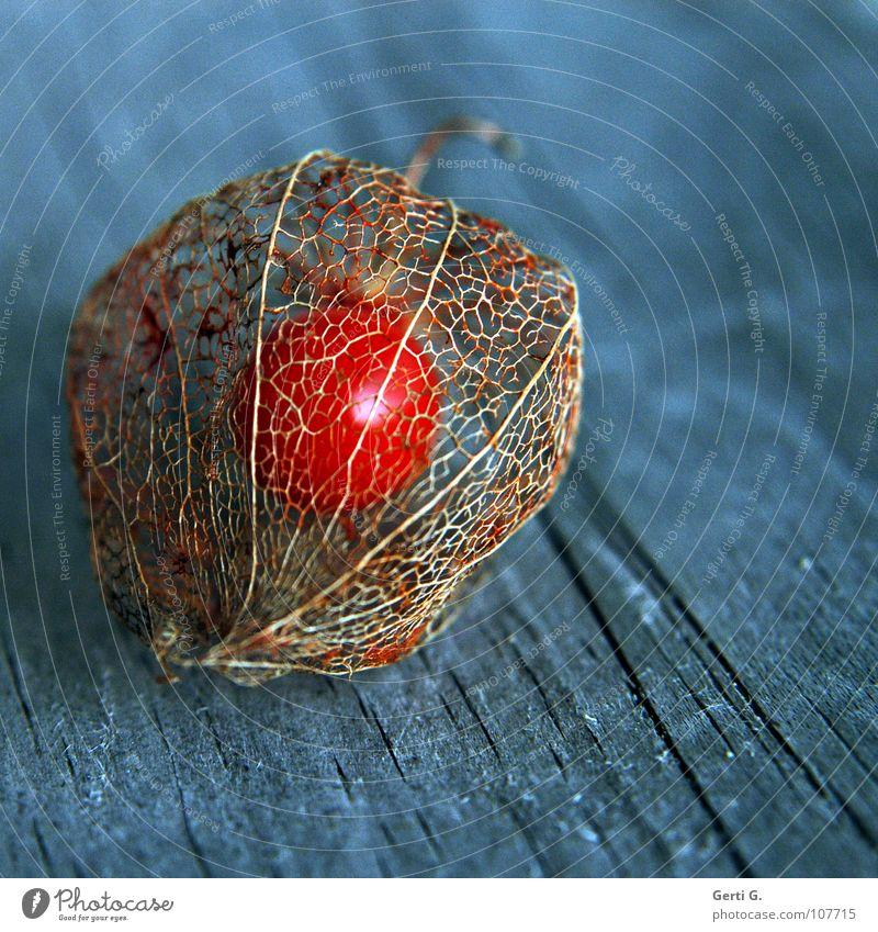 Einzelkind blau Herbst Holz orange Frucht glänzend verrückt Vergänglichkeit Netz Schutz Stengel Samen Vernetzung Hülle Maserung grell