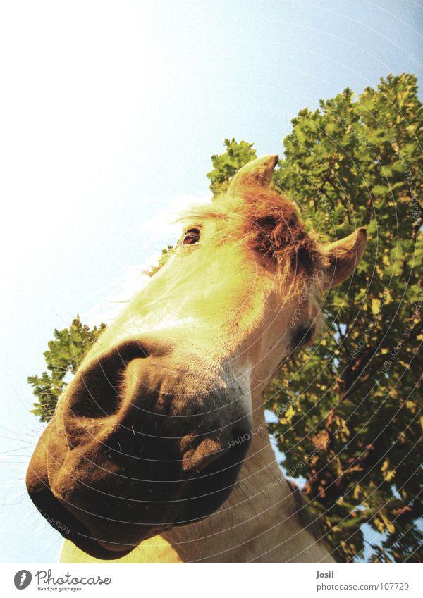 Gibt's da was zu essen? Pferd Baum Licht Neugier Froschperspektive Gras Blatt Nasenloch Mähne schwer groß Pferdekopf Baumstamm laufen Sommer Physik füttern