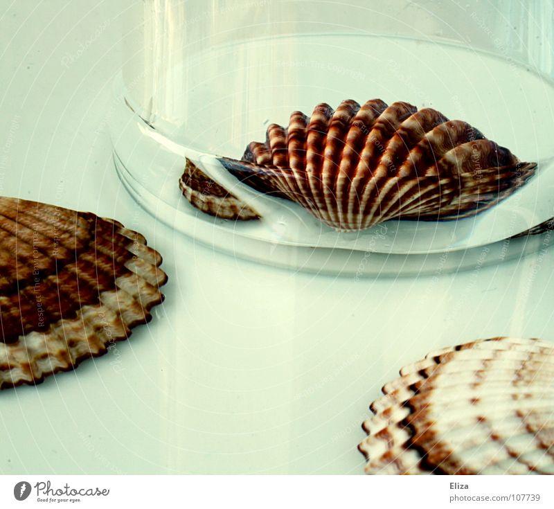 Glasmuschel Muschel Meer weiß durchsichtig schön Dekoration & Verzierung Reflexion & Spiegelung Strand Ferien & Urlaub & Reisen Sommer Souvenir Sammlung