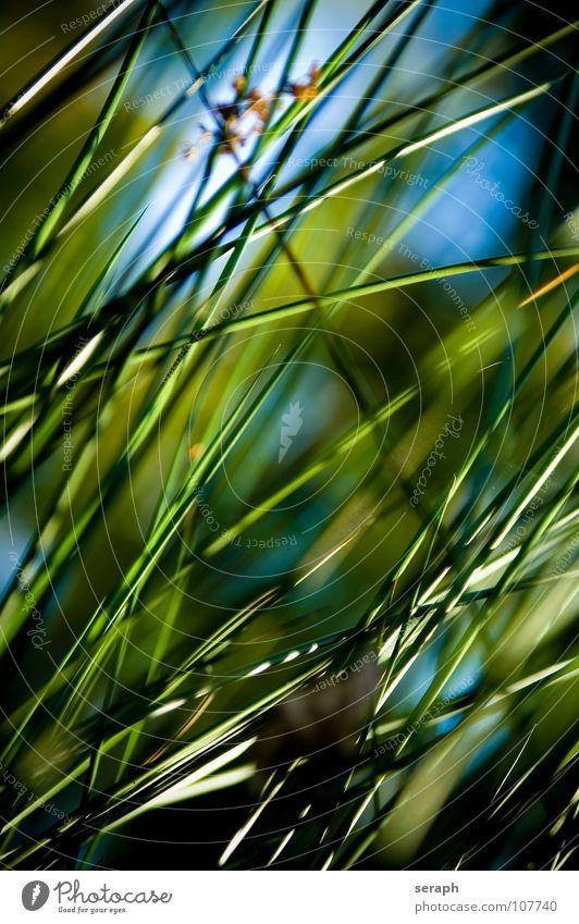 Binsen Schilfrohr Röhricht Biotop Blüte Blühend Gras Halm Pflanze Natur wedel Umwelt Umweltschutz Süßgras ufer Hintergrundbild abstrakt Strukturen & Formen