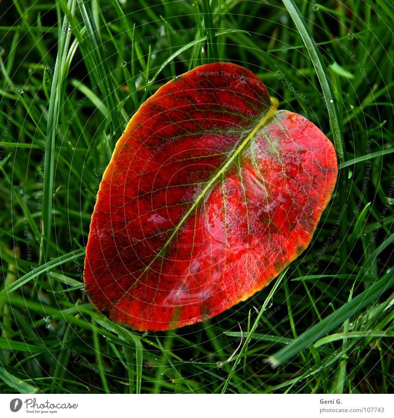 mitten im Herbst grün rot Blatt Gras Regen Linie glänzend nass frisch Rasen liegen Vergänglichkeit Mitte Jahreszeiten feucht