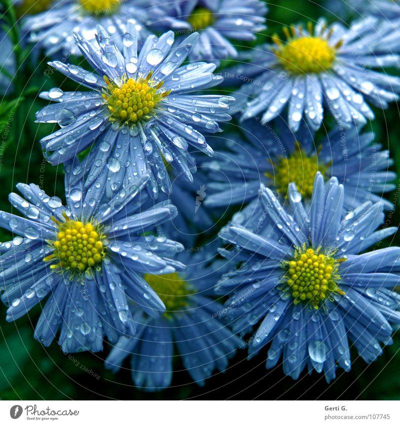 kollektive Emotionen Astern Korbblütengewächs Zierpflanze violett gelb Blütenblatt nass Regen Wassertropfen Blume Pflanze mehrfarbig blau-gelb Sträucher