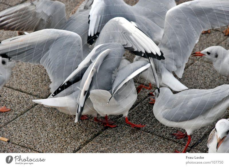 Möven-Galama Futter füttern Vogel Schnabel Federvieh Flügel fliegen picken Vogelvieh Flügelschlagen