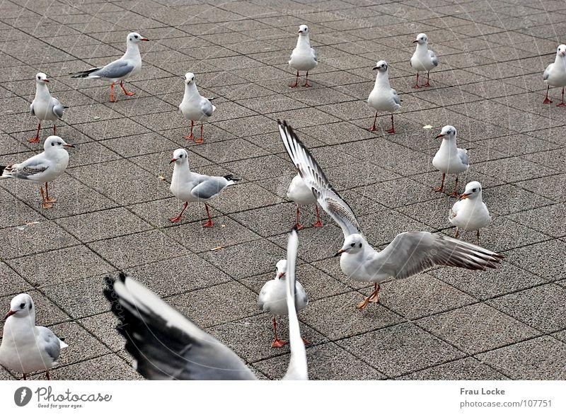 Möven-Schau Futter füttern Vogel Schnabel Federvieh Flügel fliegen picken Vogelvieh Flügelschlagen