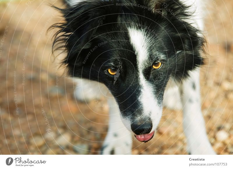 Border Collie Hund Säugetier Tier