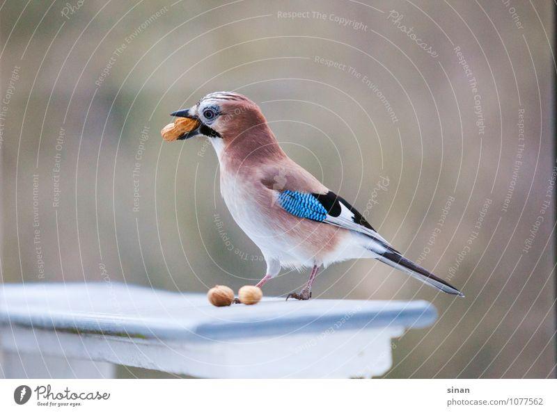 """Eichelhäher klaut Erdnüsse Nuss Erdnuss Natur Garten Tier Wildtier Vogel 1 sitzen Überleben """"stehlen gucken,"""" entwenden Blick Schnabel Feder Treppengeländer"""