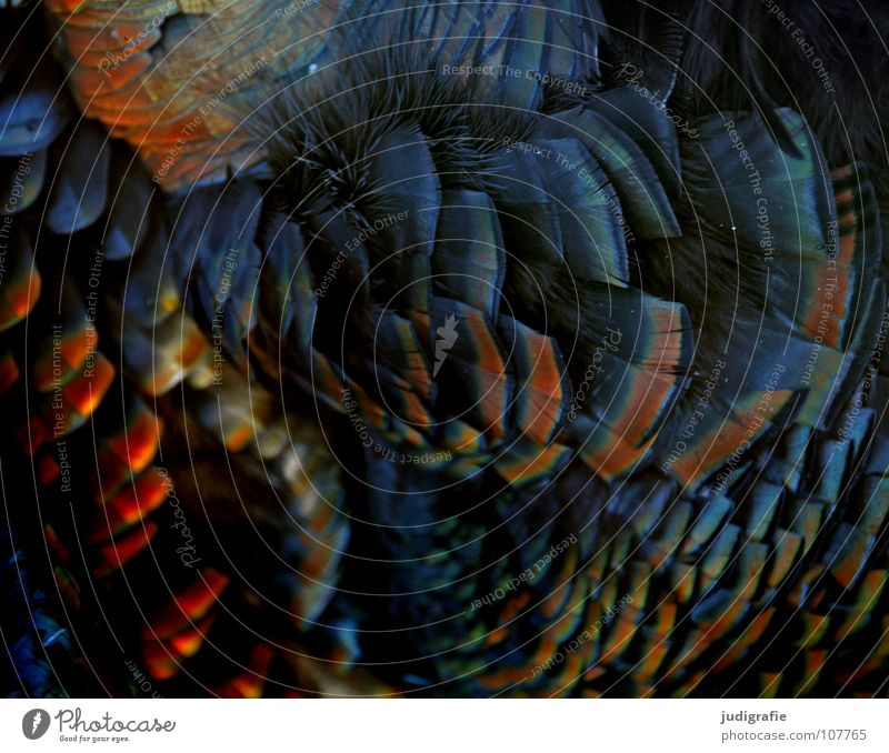Truthahn schön Tier Farbe Vogel glänzend weich Feder Erntedankfest Truthahn