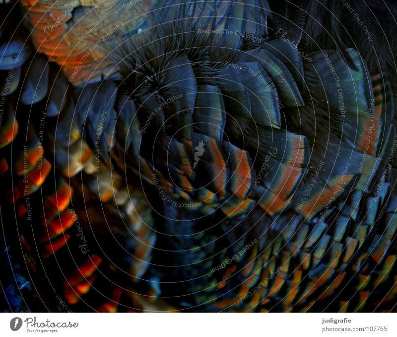 Truthahn schön Tier Farbe Vogel glänzend weich Feder Erntedankfest