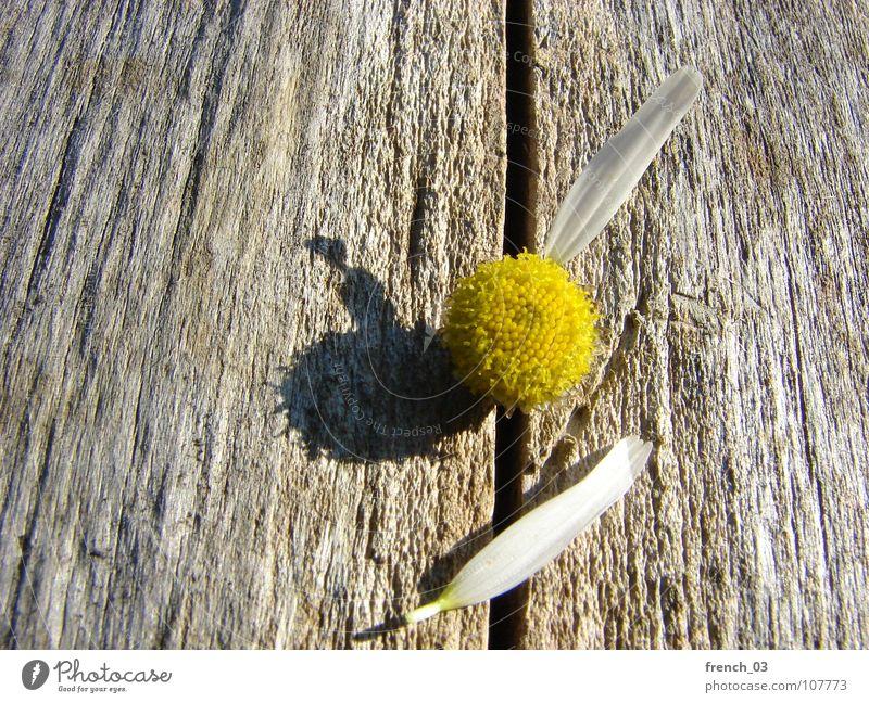 Baldige Gewissheit Natur schön weiß Blume Pflanze gelb Gefühle Blüte Holz braun Hoffnung Wunsch Entscheidung Blütenblatt Kamille Kamillenblüten