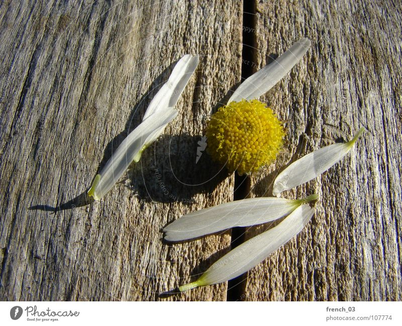 Ausgeträumt Sommer Natur Pflanze Blume Blüte Holz braun gelb weiß Kamille Farbfoto Gedeckte Farben Nahaufnahme Makroaufnahme Strukturen & Formen Tag Schatten