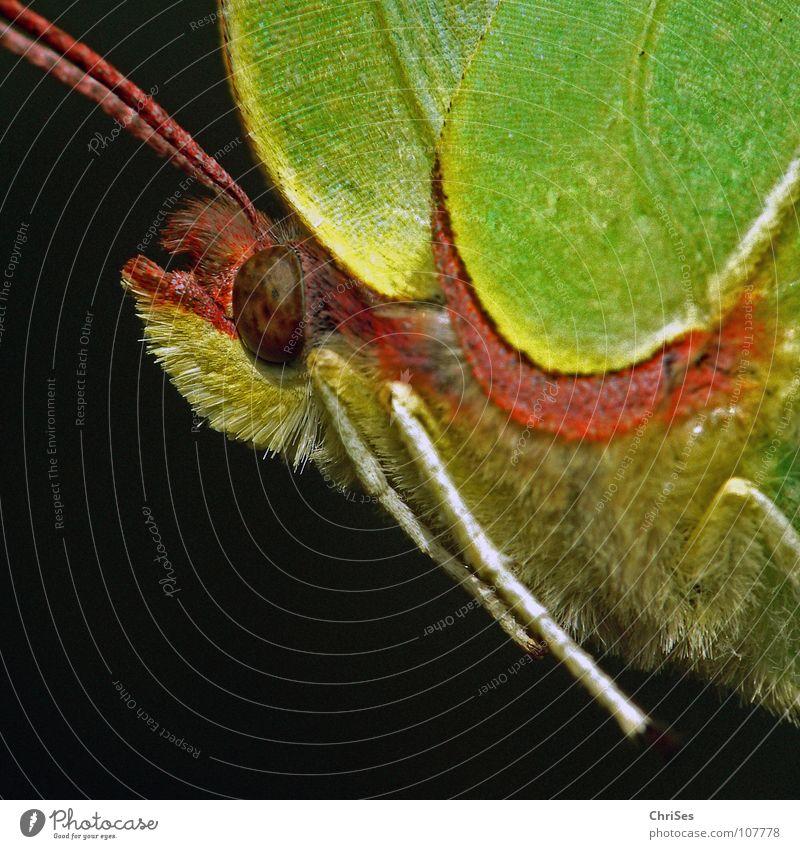weiblicher Zitronenfalter ( Gonepteryx rhamni ) Sommer Frühling Schmetterling Insekt gelb grün Tier Weißlinge Gegenlicht Nordwalde Makroaufnahme Nahaufnahme