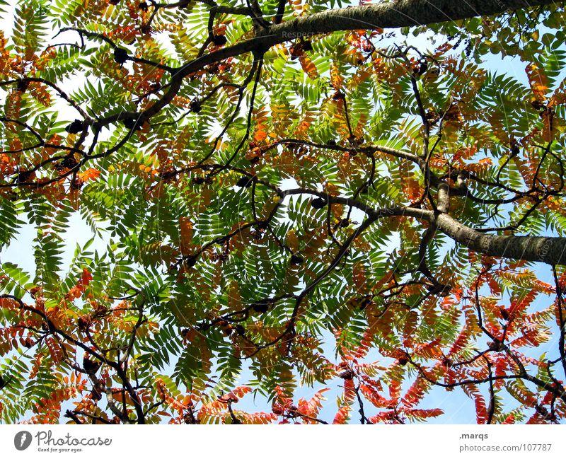 Discolouration Baum Blatt rund Oval Herbst rot grün Blüte Farbenspiel Färbung Holzmehl Natur schön Blätterdecke Ast Zweig orange Schatten Himmel Faben tree limb