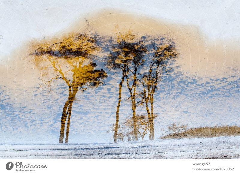 Küstenwald Natur Landschaft Pflanze Sand Wasser Schönes Wetter Baum Windflüchter Wald Strand Ostsee maritim braun weiß bizarr Umwelt Waldrand Stranddüne Pfütze