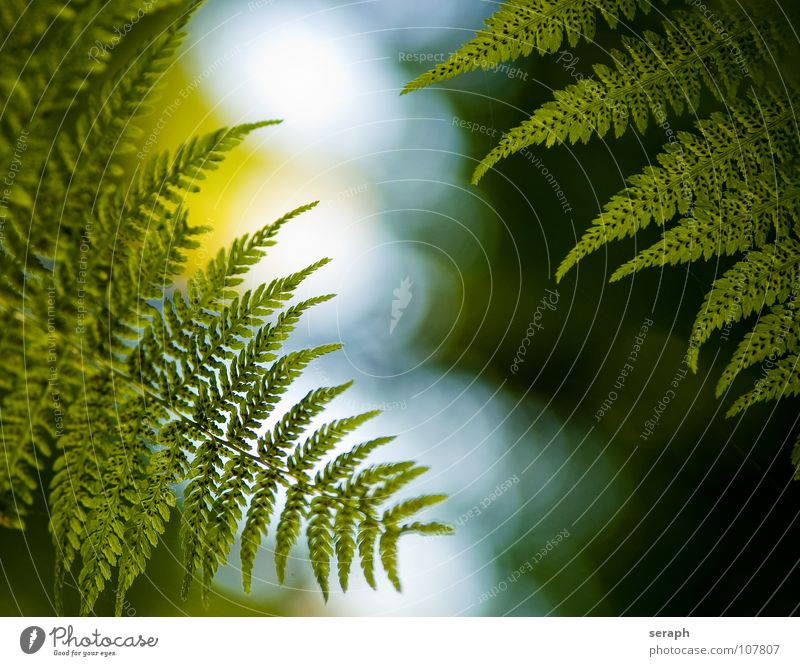 Königsfarn Natur grün Pflanze Blatt natürlich Wachstum frisch Stengel Botanik filigran Farn Blattgrün Echte Farne organisch gefiedert Sporen