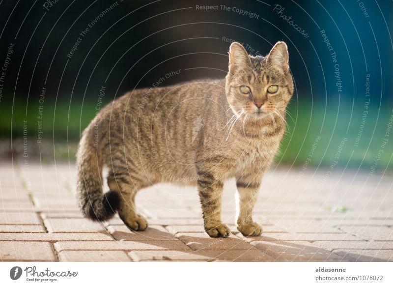 Hauskatze Haustier Katze 1 Tier beobachten streichen Tigerfellmuster Fell Farbfoto Außenaufnahme Tag Blick in die Kamera