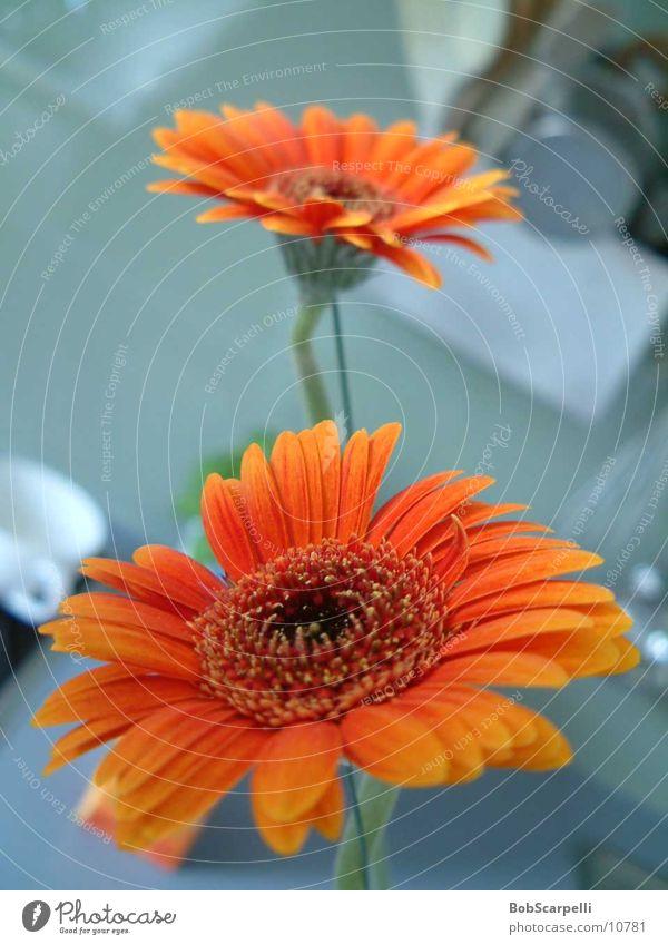 Blümli Blume