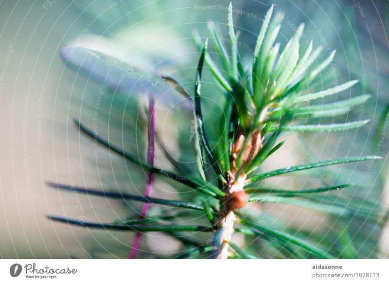 Tannennadeln Natur Pflanze Baum Wald Klima Tannenzweig Nadelbaum Farbfoto Menschenleer Tag