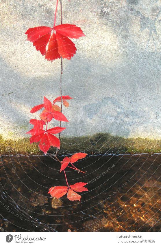 Das große Unbekannte Herbst rot Beton Bach Blatt Wilder Wein Weinblatt Herbstlaub hängen hängend Stillleben Wand Ranke Zauberei u. Magie bezaubernd Rausch