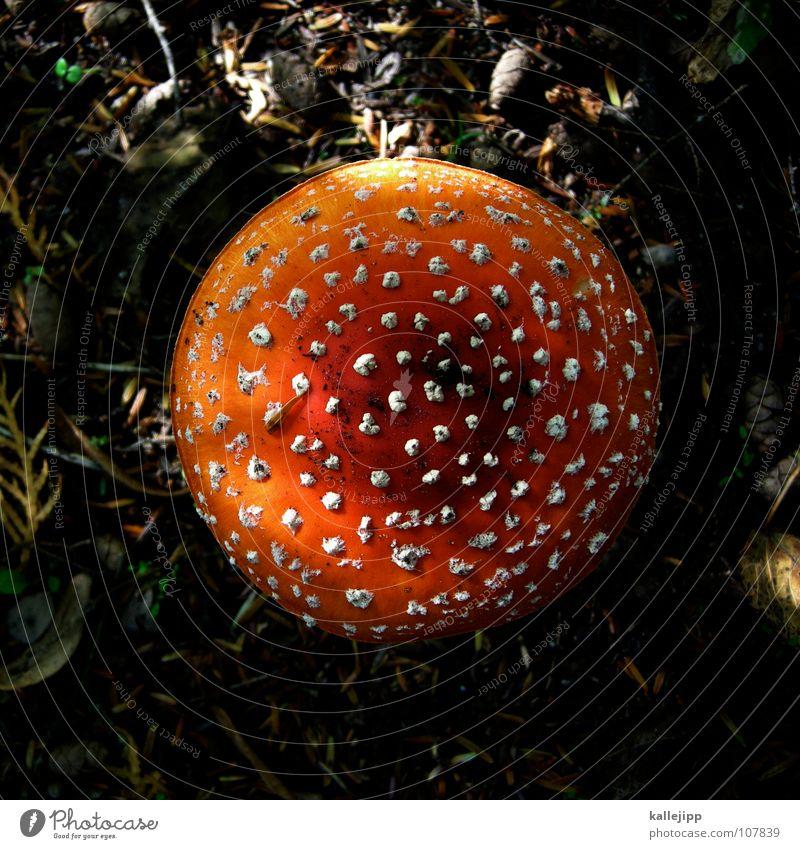 Amanita muscaria var. muscaria Fliegenpilz Gift essbar vergiften genießen Tod fatal Sammlung Pilzsucher Pilzsuppe Wachstum austreiben feucht Waldspaziergang