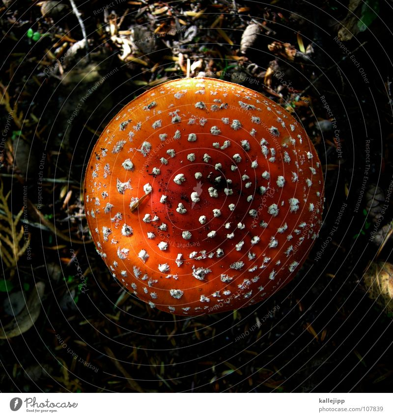Amanita muscaria var. muscaria Tod Regen mehrere Wachstum Ernährung verfaulen genießen nah feucht Sammlung Pilz Märchen Mikrofon Gift Zwerg Lamelle