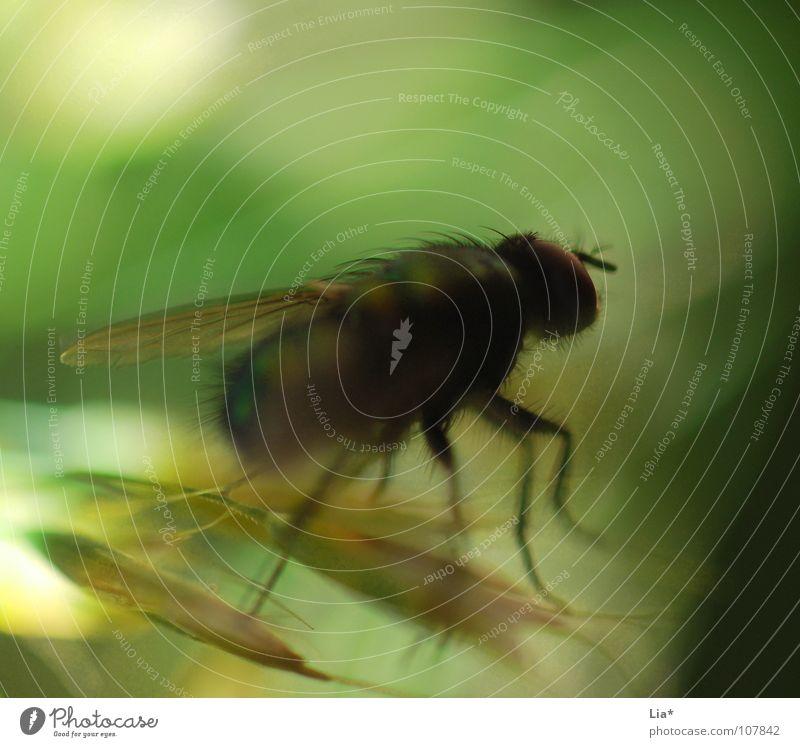 Fliege im Wind grün Tier Gras Haare & Frisuren klein Fliege fliegen Flügel Insekt Biologie krabbeln Stechmücke