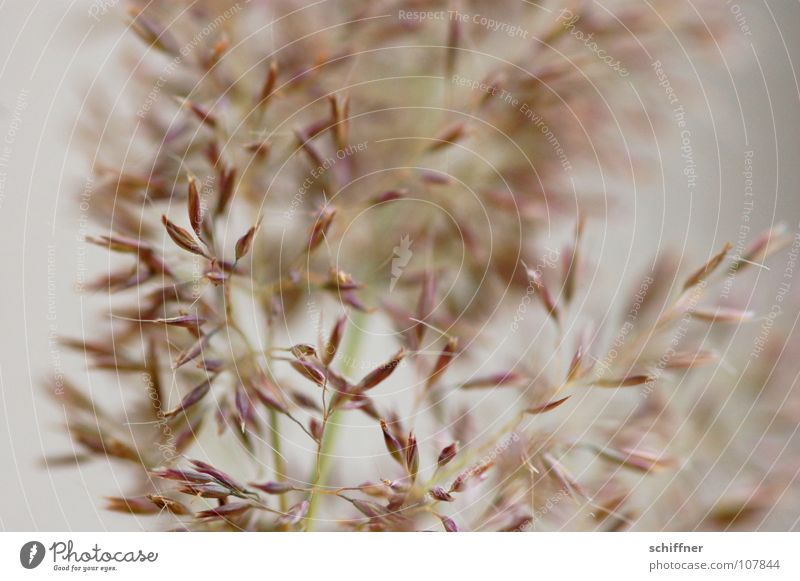 Ich zitter Dir was... Gras Hintergrundbild Dekoration & Verzierung zart Wohnzimmer sanft zerbrechlich Ziergras