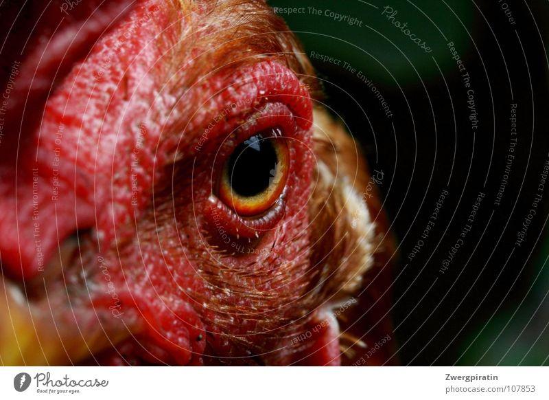 Strenger Blick rot Tier Auge Vogel nah Tiergesicht Gesichtsausdruck Haushuhn Anschnitt Pupille Kamm Makroaufnahme Gesichtsausschnitt Vogelauge Vogelkopf